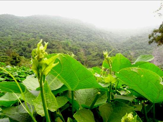 大後部落「無毒龍鬚菜」勾勒部落產業的遠景