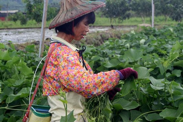 災後兩年,食物與小農(1)蔗肥糖香,有機重建