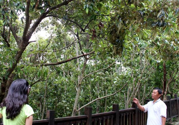 高士部落,不砍樹的太陽香菇