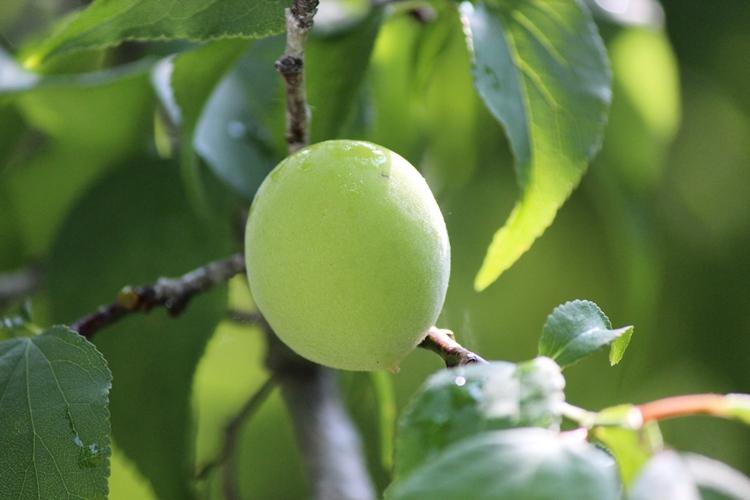 採下枝頭鮮綠 盼一年好梅價