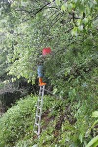 IMG_8314沒有矮化的梅子樹,需要搭梯子手採