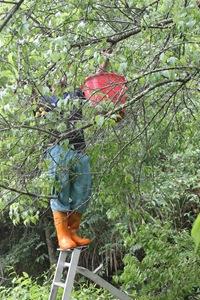 IMG_8317一支水桶加善攀爬的伸手是手採梅工人惟一配備