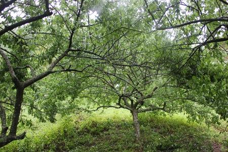 IMG_8331恣意伸展的梅子樹