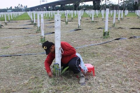 災後重建的集體農場夢(2)由專業農務公司輔導種植並保價收購,之後由居民學習經營