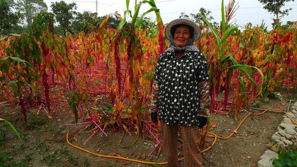 長治百合部落(52)好消息!耕地開始有收穫,紅藜也找到了通路